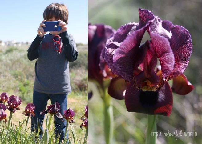 IACW - black iris